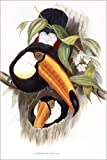 Posterlounge Acrylglasbild 60 x 90 cm: Ramphastos Toco (Common or Toco Toucan), 1852-1854 (Hand-Coloured Lithograph) von Bridgeman Images - Wandbild, Acryl Glasbild, Druck auf Acryl Glas Bild