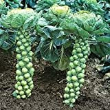 Divya Seeds Imported Brussel Sprouts !! Pack Of 2