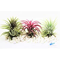 Air Plants Tillandsia x3 Ionantha Red, Green & Rubra Ionatha for Terrarium Vivarium Office House Plant