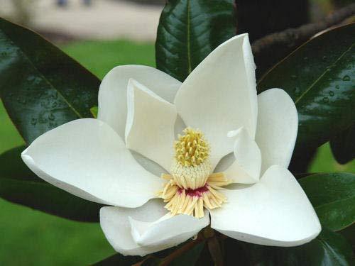 Magnolia Tree (Portal Cool Samen Paket: Magnolia Magnolia Tree Gifloraorchidee 5 Samen Samen)