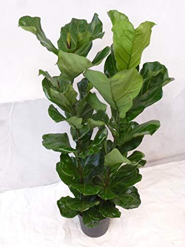 [Palmenlager] - Ficus lyrata 2er Tuff 180 cm - Geigenfeige mit großen Blättern // Zimmerpflanze