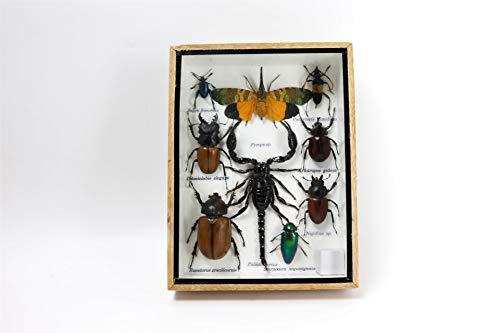 Bitacora Insekten Sammlung C Rahmen CMS 20,5x15,5 Präparatoren natürliche