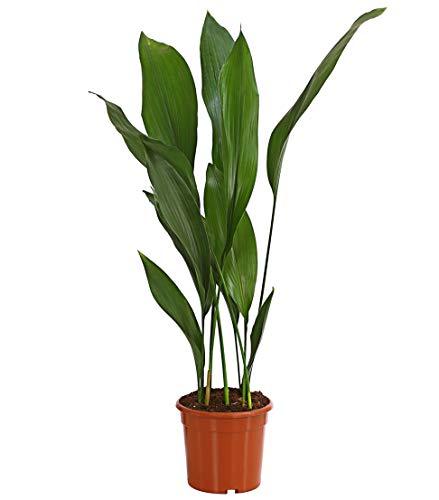 Dehner Schusterpalme, schwertförmige lange Blätter, ca. 60-70 cm, Ø Topf 17 cm, Zimmerpalme