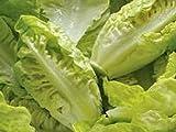 Romana-Salat - Little Gem (200 Samen)