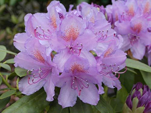 Rhododendron Hybride 'Catawbiense Grandiflorum' - Im 5 lt. Topf, Höhe ca. 30-40cm