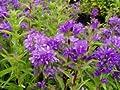 Glockenblume 'Acaulis' - Campanula glomerata 'Acaulis' - Staude von Native Plants von Native Plants bei Du und dein Garten