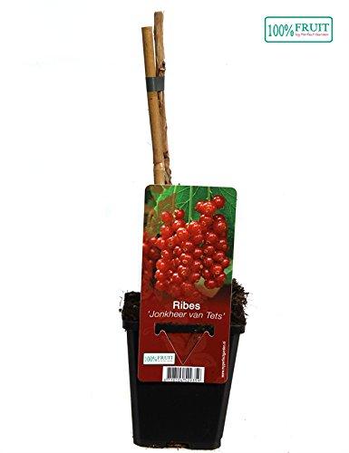 Blumen-Senf 1 Pflanze Rote Johannisbeere 'Jonkheer van Tets' 30 cm
