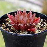 IDEA HIGH Seeds-200 Pcs/Lot Bonsai Büro Schreibtisch Blumen Yulu Pseudotruncatella Stein Viva Lithops Sweatshirts Bonsai Anti-Strahlung Luftreinigung: 14