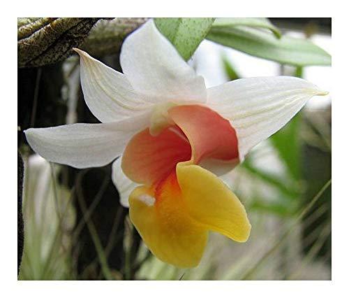 Dendrobium bellatulum - orchidées - 100 graines