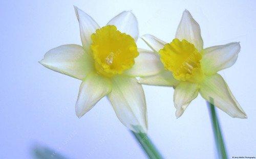 Galleria fotografica 100pcs narciso fiori, semi narciso (non Daffodil bulbi) semi bonsai fiori piante acquatiche doppie petali pianta Narcissus Garden