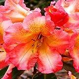 Fash Lady Piante di rododendro fresco, bella pianta da giardino bonsai fiore raro Plantas il tasso di germinazione 95% di alta qualità 200 pz /: 17