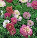 Poppy - Shirley Double Mixed - 7500 Seeds