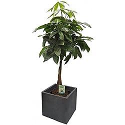Glückskastanie (Pachira) 60-80cm hoch, 1 Pflanze im Scheurich Topf C-Cube ca. 29x29x27 cm, stony black