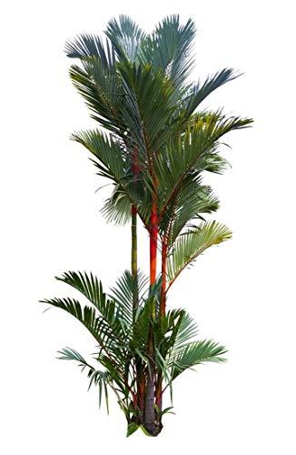 Siegellack - Palme - Rotstielpalme - 10 Samen Cyrtostachys renda - Rarität