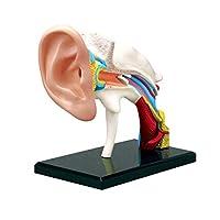 AIOXY Ear Anatomy Model-Removable 22-part Human Anatomy Scientific Ear Model-Medical Education Teaching Model-Educational Toys