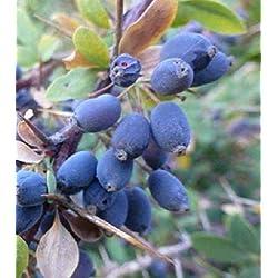 Portal Cool Berberitze - Berberis Hispanica - 100 Frische Samen