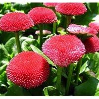 Amazon Fr Fleur Marguerite Rouge Plantes Graines Et Bulbes Jardin