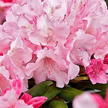 Shop Meeko Rhododendron yakushimanum 'Kalinka' 9cm Potgröße