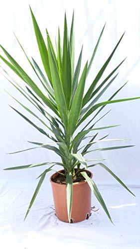 Bush Palme (Yucca Palme 'green Busch' 120 cm, pflegeleichte Zimmerpflanze)