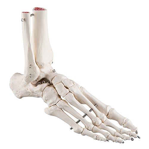 Fuß-Skelett: Mehr als 100 Angebote, Fotos, Preise ✓