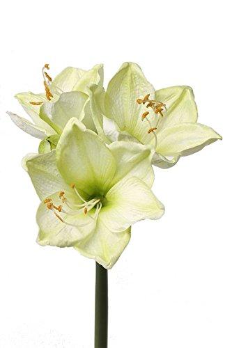 artplants - Künstliche Amaryllis, Creme-grün, 55 cm - Deko Ritterstern Blume/Kunst Hippeastrum Blüte