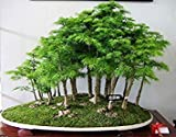 100 PC / bag Juniper Bonsai-Baum-Samen Topf reinigen die Luft Absorption Strahlung Kiefer Samen Hausgarten