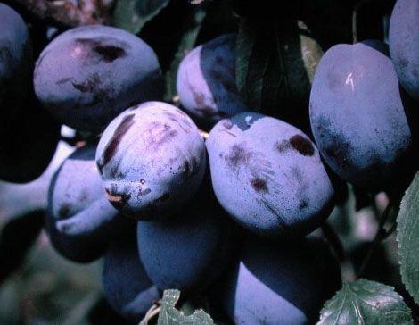 Pflaumenbaum, Hanita, Busch-Baum, Steinobst, Pflaume blau, 120 - 150 cm, im Kübel, mit Dünger, Prunus domestica, Obstbaum winterhart, EVRGREEN