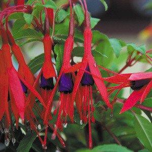Plant World Seeds - Fuchsia Magellanica Seeds