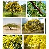 Promoción nuevo hogar jardín de plantas Semillas 100 semillas de acacia ORO MIMOSA Baileyana Amarillo árbol del zarzo de flores Semillas de nov