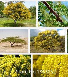 Promotion Neue Hausgarten-Anlagen 100 Samen GOLDEN MIMOSA Akaziensamen Baileyana Gelb Akazie Baum Blumensamen November
