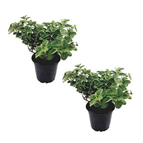 2 Pflanzen Oregano im Topf - Gew...