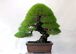 Bee Garden Organic Japanese Pine Bonsai Suitable Tree Seeds, Garden / Indoor / Balcony Tree Grows In Full Sun Or Partial Shade