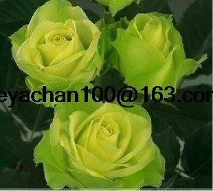 Green Ice parfum de rose balcon de jardin en pot 100 graines de fleurs