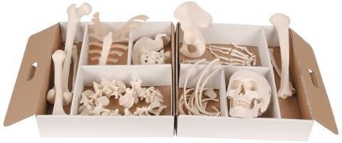 3B Scientific Demi squelette factice démonté avec mains et pieds