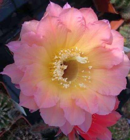 echinopsis-cantora-x-schick-x-rheingold-melange-hybrides-echinopsis-10-graines