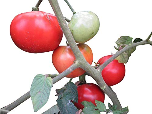 Tomate Saatgut nach Sorten, je 10 Samen -Kostenloser Versand- (Moneymaker)