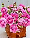 Fash Lady Echte Ranunkelzwiebeln, Schöne Topfpflanzen Blumenzwiebeln, (Ranunkel Samen), mehrjährige Bonsai Bauchige Wurzel Gartenpflanze - 1 Stück 8
