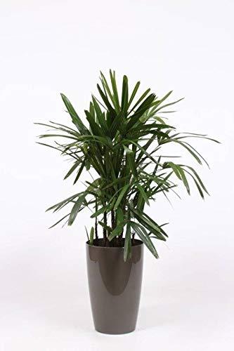 FloraStore - Rhapis Excelsa im Ziertopf aus Kunststoff + Wasserzähler (taupe) (1x), Höhe 100 CM, Zimmerpflanze