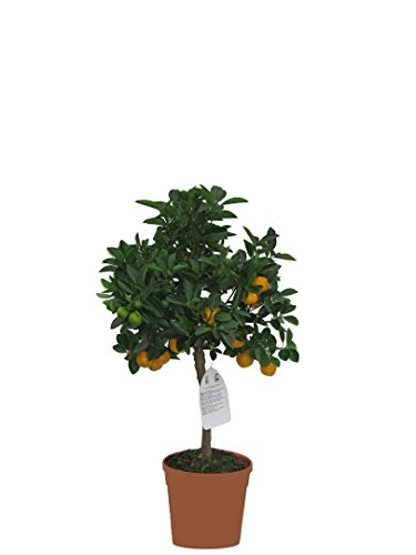 Calamondin-Orange Citrus microcarpa