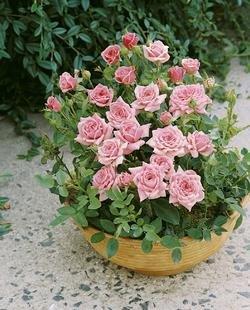 Zwergrose 'Rosabell' -R- im 4 L Container von Rosen-Union - Du und dein Garten