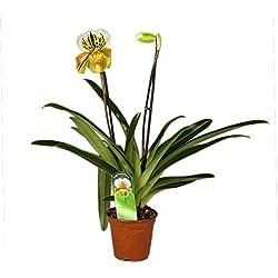 FloraStore - Paphiopedilum Amerikanische Hybrid 2 Filiale (1x), Höhe 35 CM, Topf 12 CM, Zimmerpflanze
