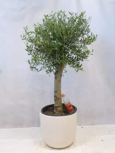 "[Palmenlager] Olivenbaum\""Olea europea\"" 140/160 cm - Kugel-Hochstamm - dicker Stamm (Umfang 20/25 cm)"
