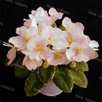 Fash Lady 50 samen African veilchen samen mischfarben Blumensamen Saintpaulia Ionantha Garten Bonsai Blumentopf Mehrjährige kräutersamen 3