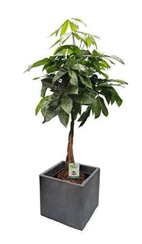 Dominik Blumen und Pflanzen, Blumen Glückskastanie Pachira, 1 Pflanze im Scheurich Topf C-Cube, circa 29 x 29 x 27 cm, 60-80 cm hoch, stony schwarz / mehrfarbig