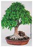 TROPICA - Ficus ginseng (Ficus rmicrocarpa) - 20 Semi- Bonsai