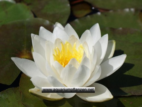 OBI Weiße Zwerg-Seerose/Nymphaea