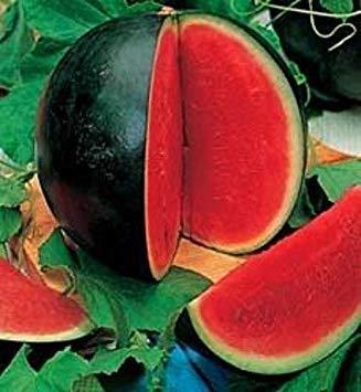 Homely Bonsaisamen Wassermelone: Bush Sugar Baby Watermelon Fresh 12