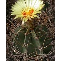 Astrophytum senile seeds