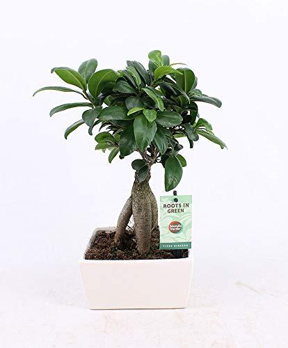"Bonsai Baum\""Ginseng\"" inkl. Übertopf Höhe 30-35 cm Topf-Ø ca. 15 cm Ficus microcarpa"