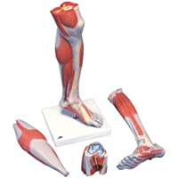 3B Scientific M22 Modelo de anatomía humana Pierna Con Músculos y Con Rodilla de Lujo, 3 Partes